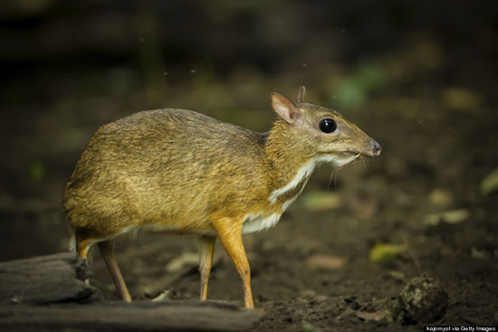 Philippine Mouse-Deer