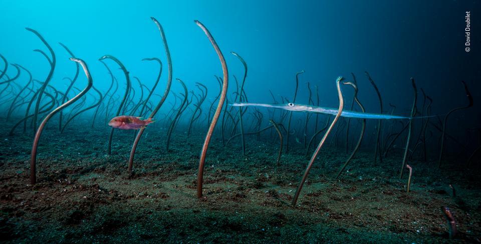 Negros Island's Dauin Garden Eels