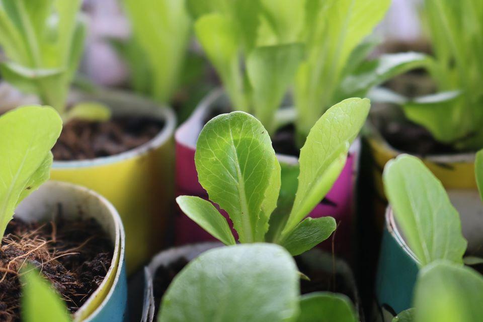 Baguio City vegetable seedlings