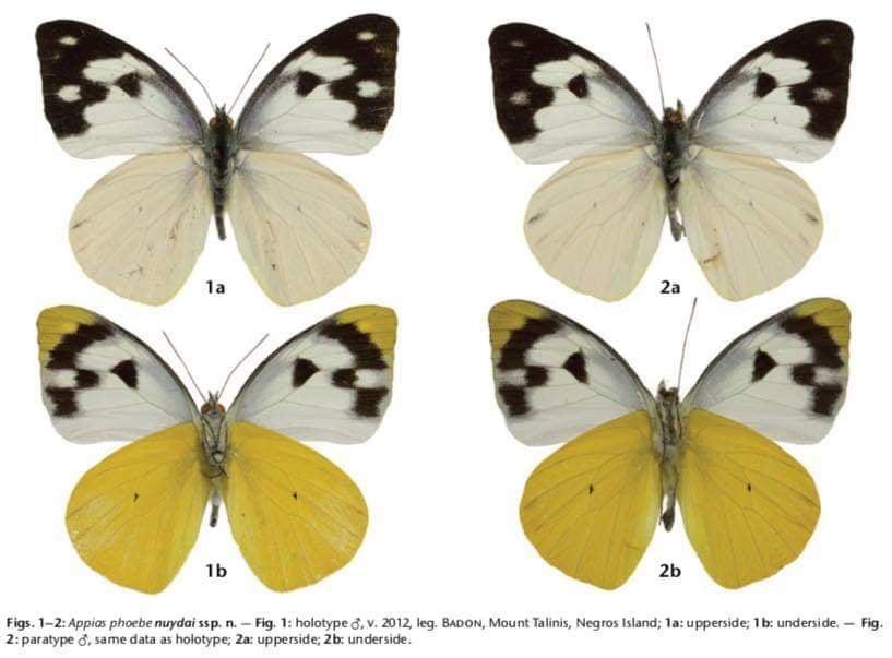 Jade Aster Badon Butterfly species