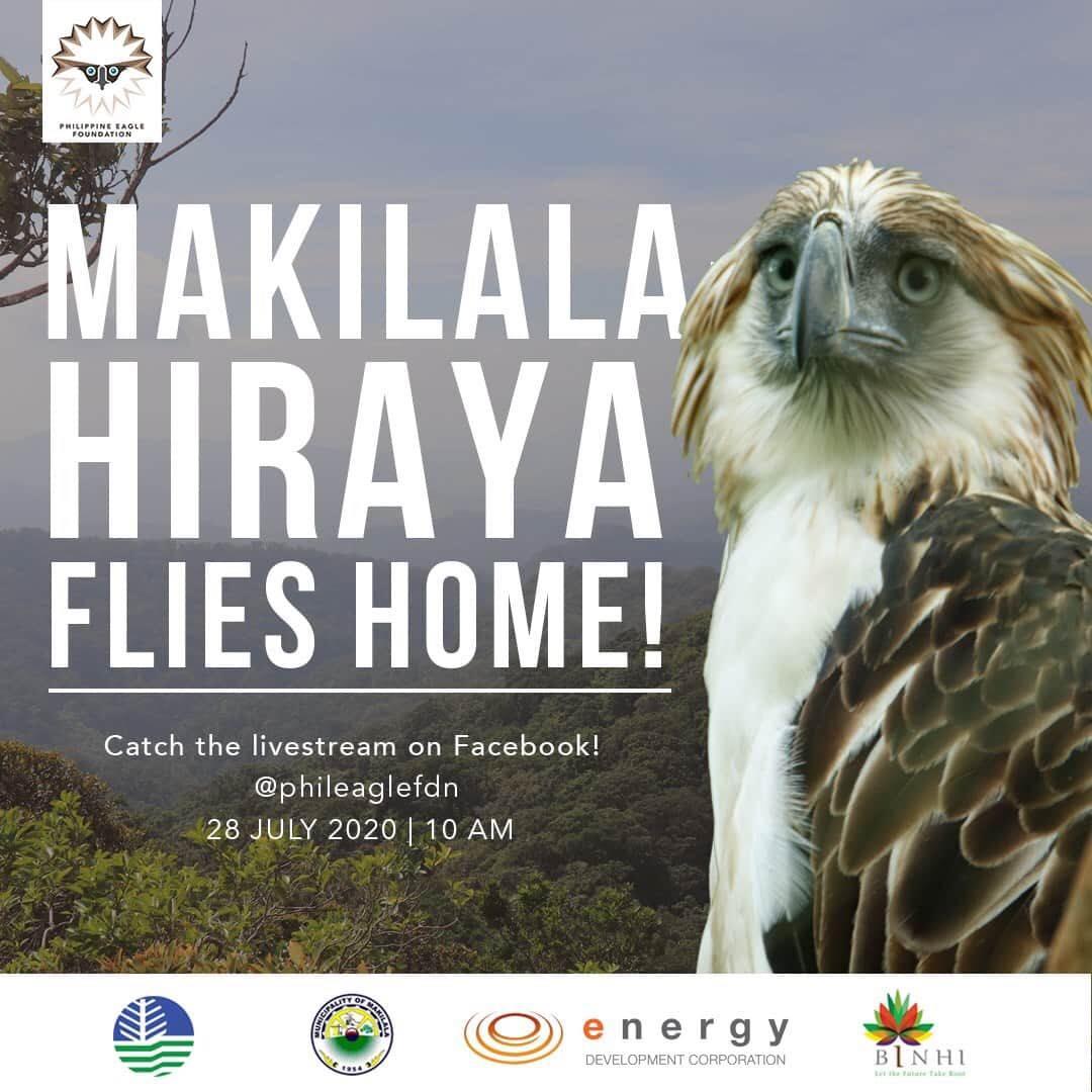 Philippine Eagle Makilala Hiraya