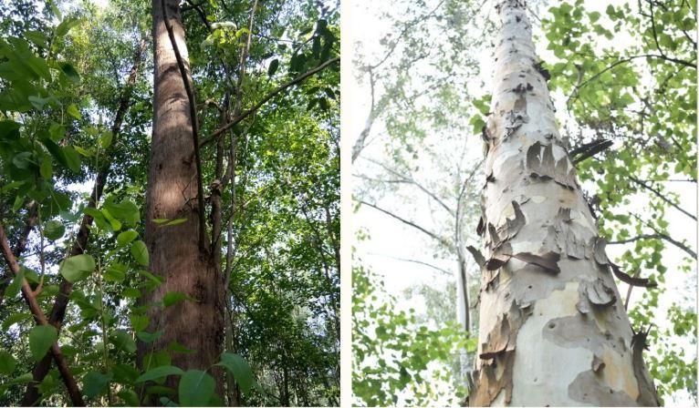 Tree Plantation Species
