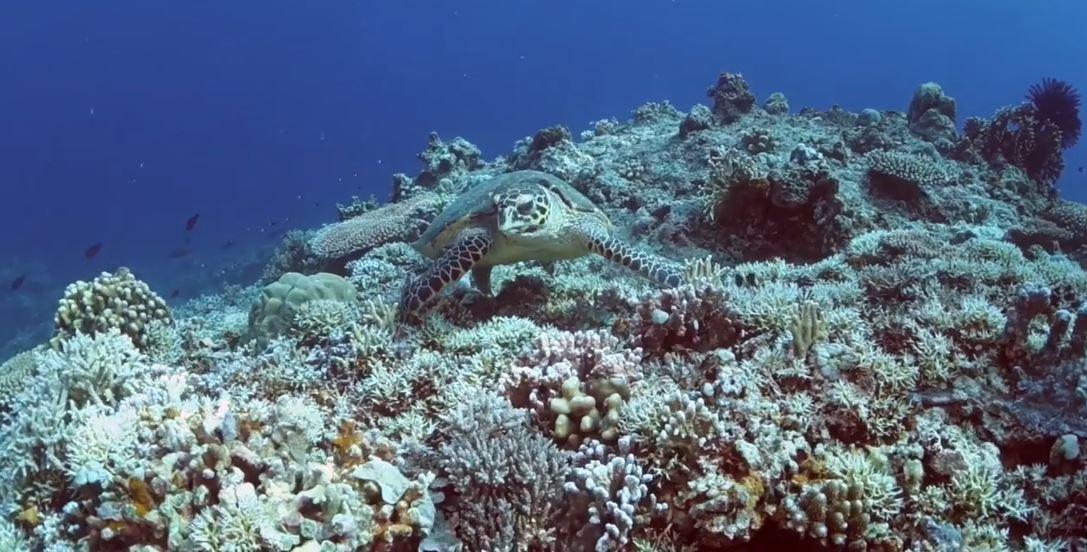 Apo Reef's endangered sea turtles