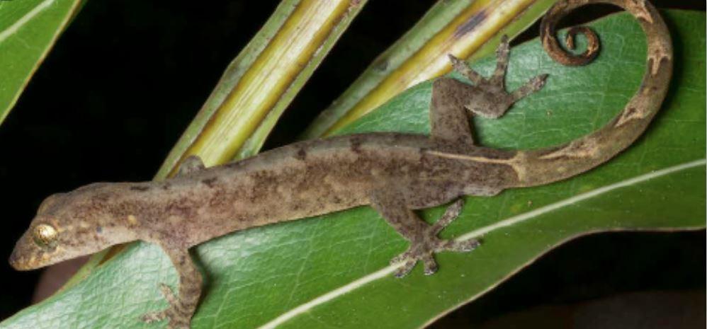 Philippine False Gecko
