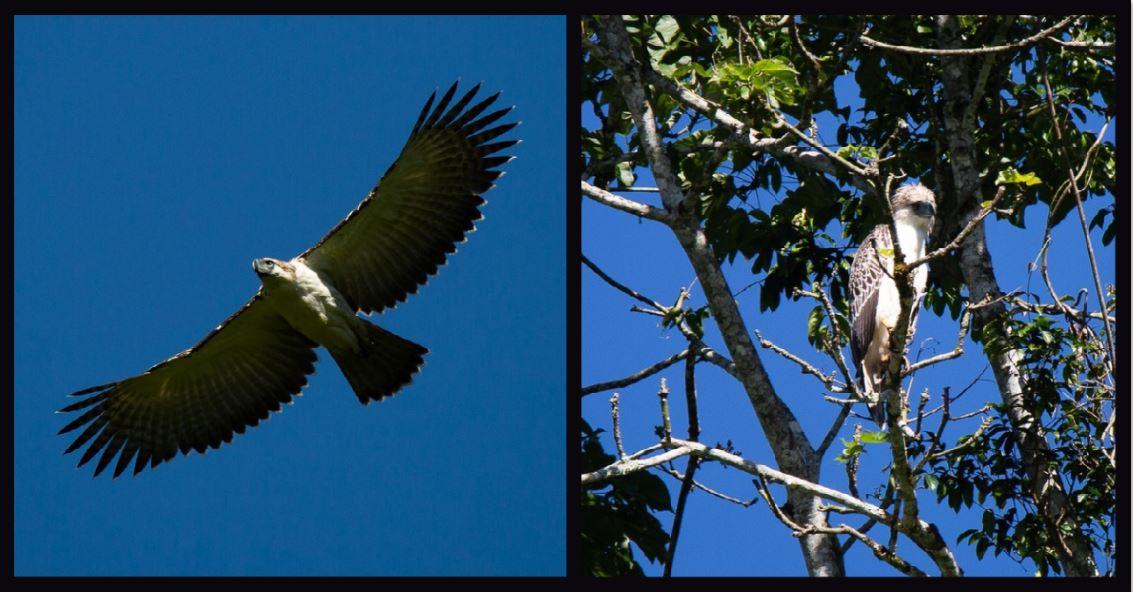 New Philippine eagles