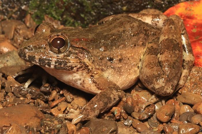 New fanged frog species Mindoro universities