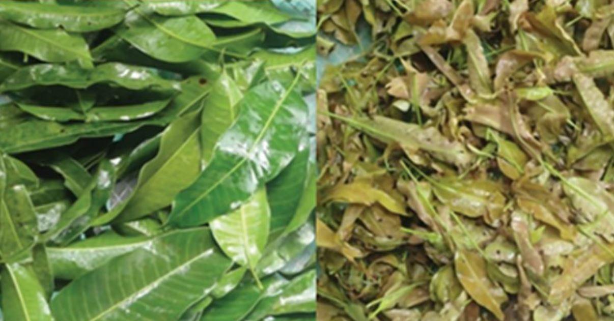 Philippine mango leaves  anti-aging