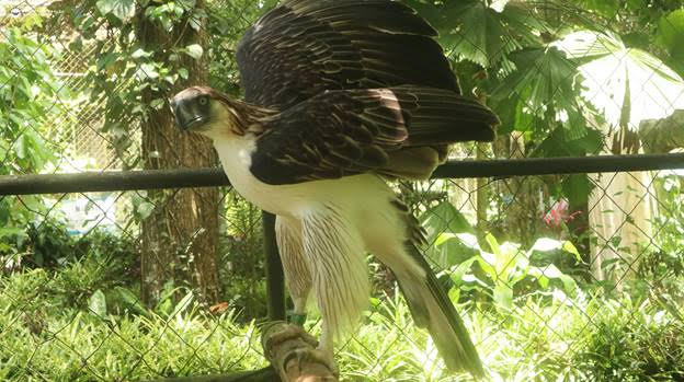 Mindanao Philippine eagle adopted by Cebu Pacific