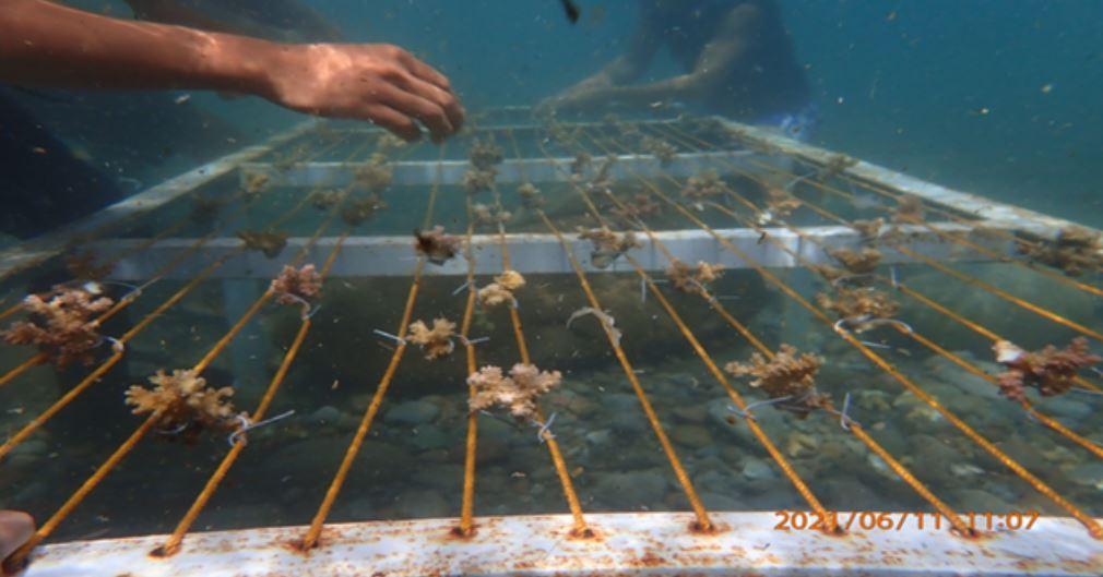 Marinduque Coral reef restoration
