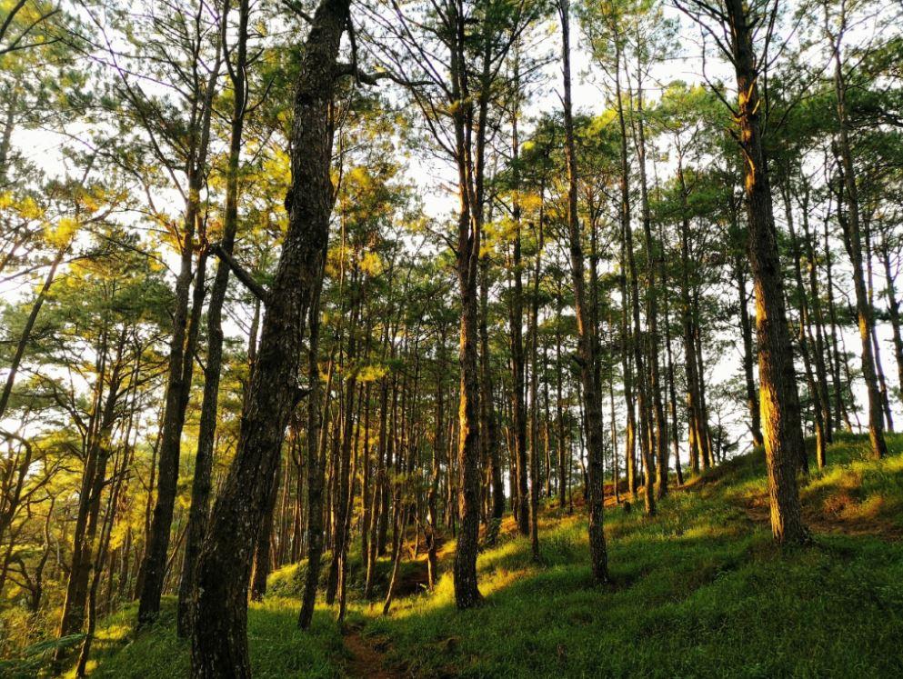 Cordillera reforestation Sekaya seedlings