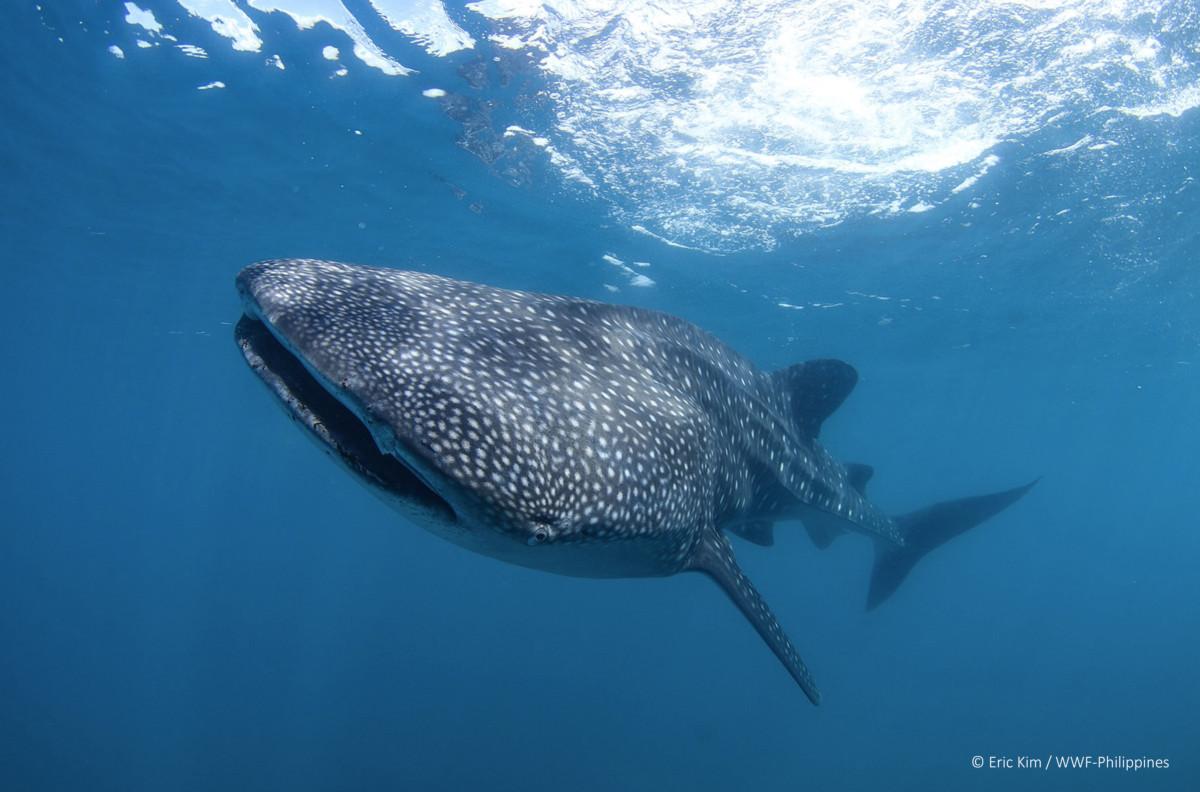 Sorsogon 26 new whale sharks